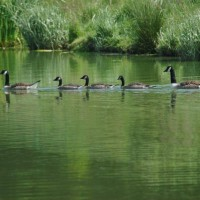 (middle 3 Canada geese babies) Mum and Dad each end, born on the lake last year
