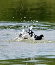 A Moorhen splashing in the water